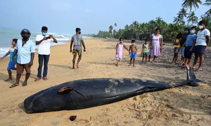 На Шри-Ланке спасли более сотни дельфинов-гринд после масштабного выброса на берег