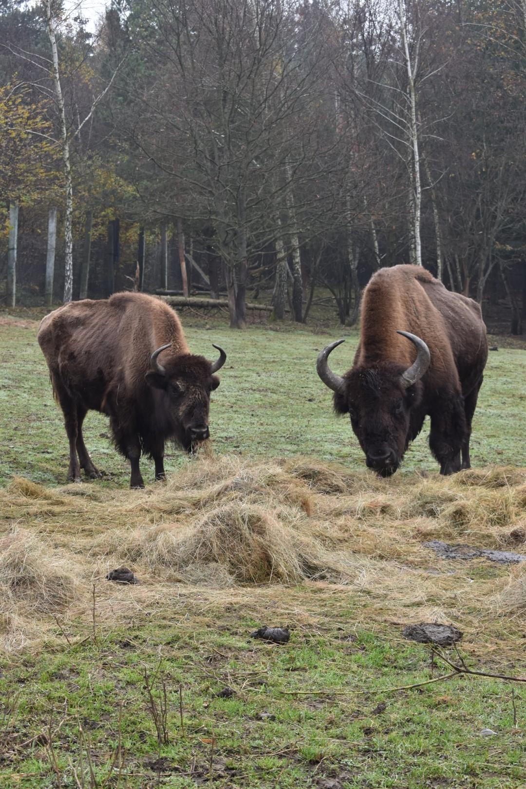 В Галицкий национальный парк передали на реабилитацию трех бизонов