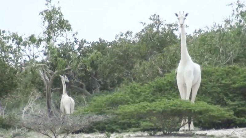 Єдиного у світі білого жирафа рятують від браконьєрів