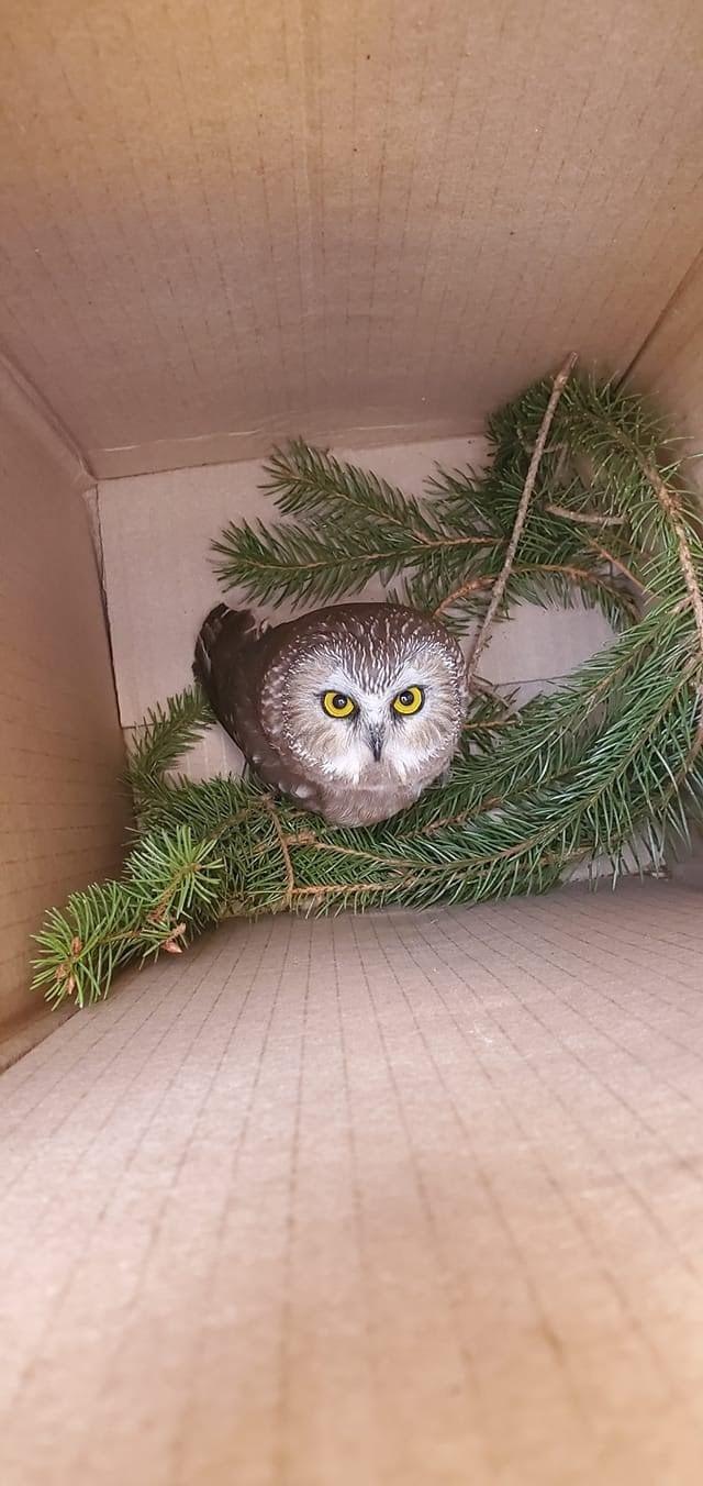 В посылке с рождественской елкой в Нью-Йорке нашли совенок