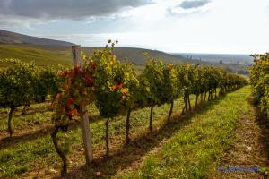 Переработка винограда в Украине уменьшилась на 39% - Госстат