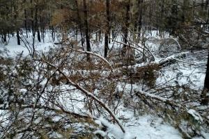 На Луганщині «чорні лісоруби» орудують на місцях пожеж