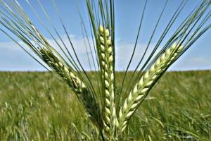 Ucrania aumenta las exportaciones de cebada