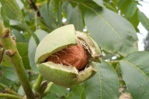 Выручка от экспорта грецкого ореха снизилась на 19% – эксперты