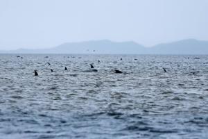 В Новой Зеландии выбросились на берег 125 дельфинов-гринд