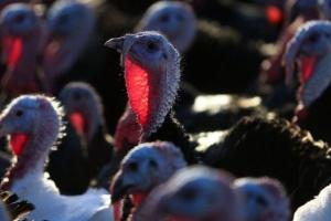 В Англии уничтожат свыше 10 тысяч индюшек из-за вспышки птичьего гриппа