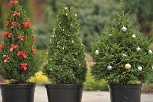 Праздник приближается: стали известны цены на елки