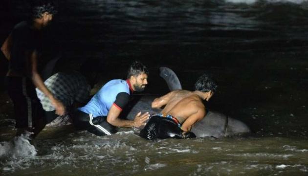 На Шрі-Ланці врятували понад сотню дельфінів-гринд після масштабного викиду на берег