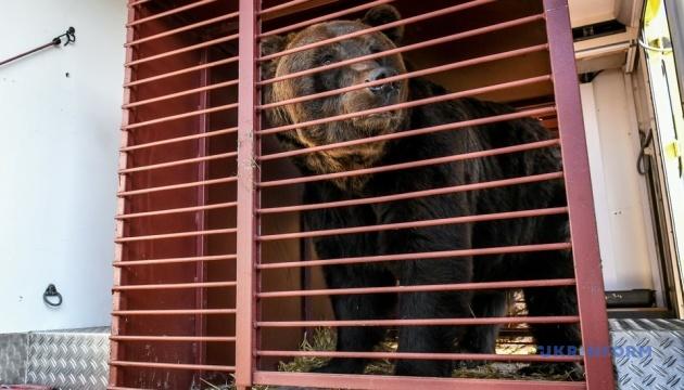 Двоє ведмедів з реабілітаційного центру їдуть «зустрічати старість» до Європи