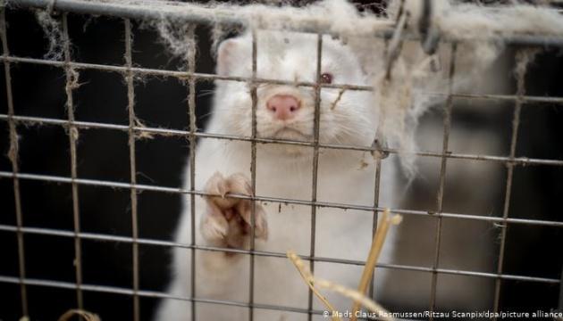 Данія: Чим загрожує мутований вірус із норкових ферм?