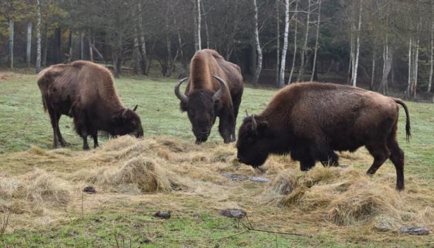 У Галицький національний парк передали на реабілітацію трьох бізонів