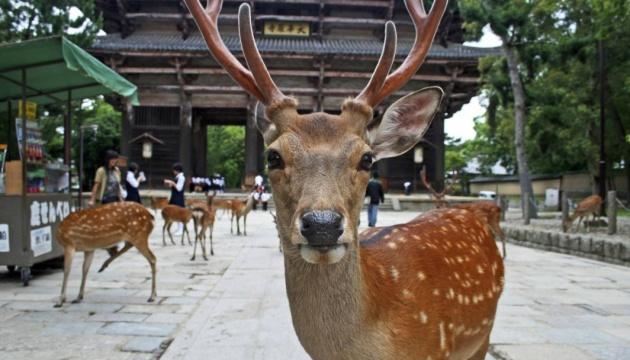 Отсутствие толп туристов изменила поведение оленей в японской Наре