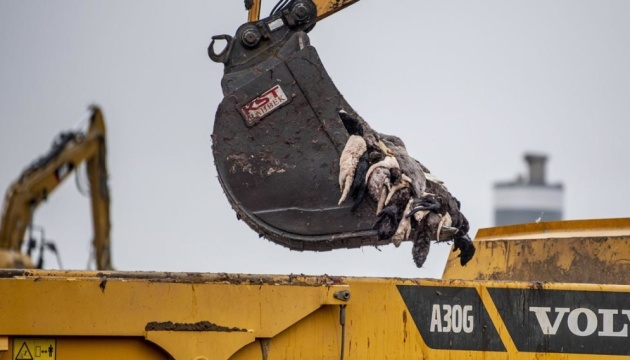 В Україні прокоментували знищення норок на хутрових фермах за «вказівкою ВООЗ»
