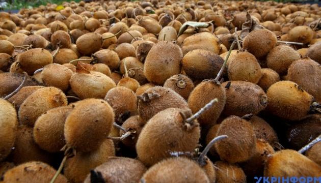В Ужгороде заканчивают собирать киви - уродило хорошо
