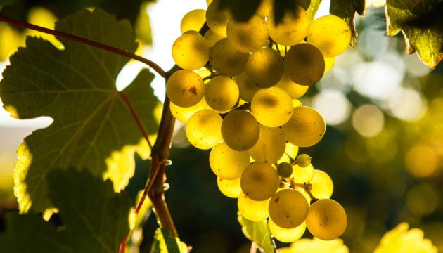 В окупованому Криму можуть зникнути традиційні сорти винограду