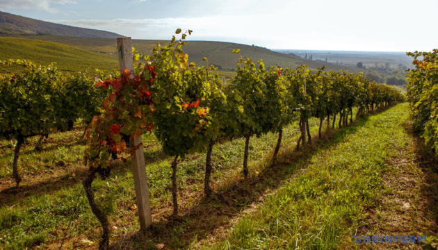 Переробка винограду в Україні зменшилась на 39% — Держстат