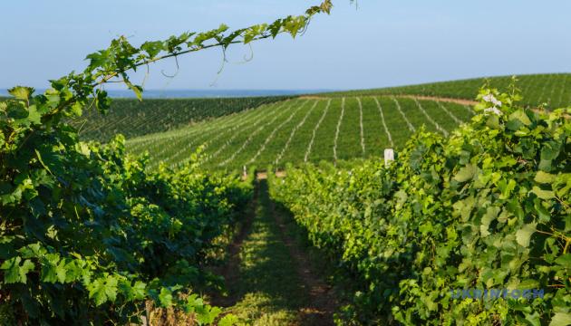Виноградарі Одещини потребують державної підтримки - ОДА