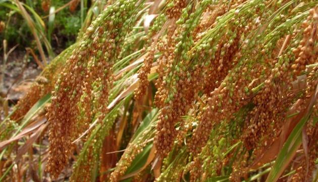 Виробництво проса зросло завдяки збільшенню посівних площ - експерт