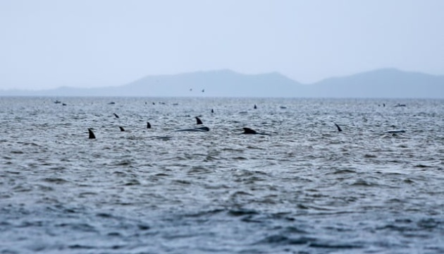 У Новій Зеландії викинулися на берег 125 дельфінів-гринд