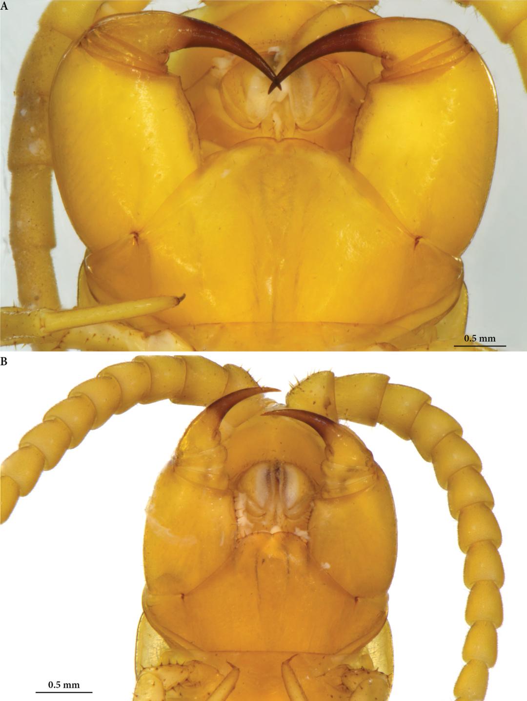 Наибольшей существом в токсической румынской пещере оказалась 5-сантиметровая многоножка
