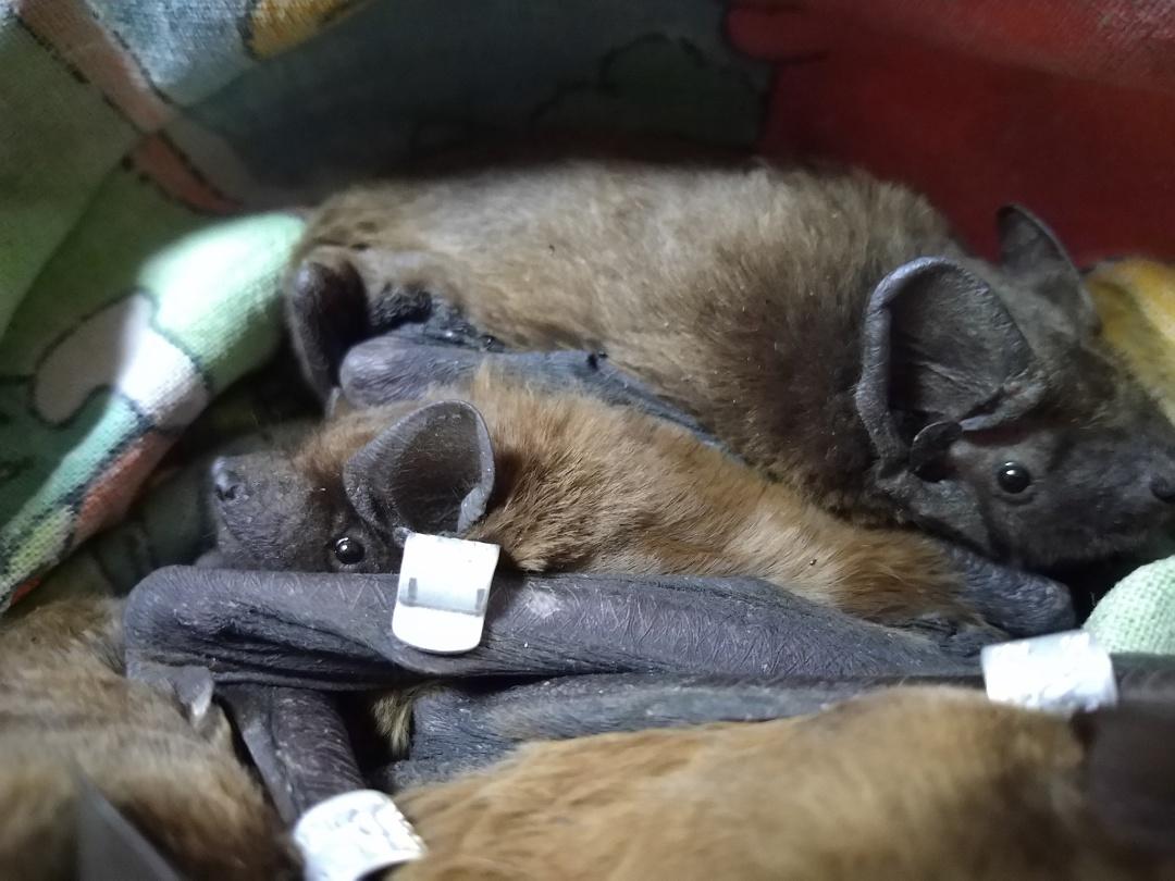«Фельдман Экопарк» принял на реабилитацию более тысячи летучих мышей