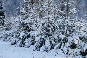 В кожній області України є плантації новорічних ялинок