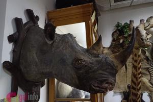 Во львовском музее отреставрировали редкого носорога