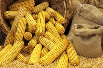 Эксперты прогнозируют сокращение экспорта украинской кукурузы