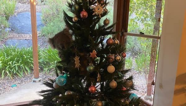 На різдвяну ялинку до австралійки