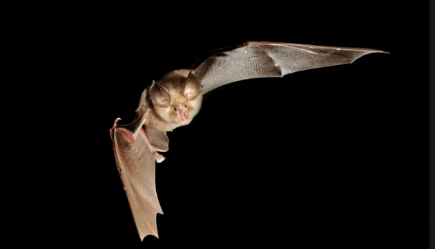 Китайські вчені знайшли нові коронавіруси у кажанів