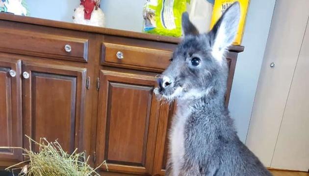 В США кенгуру-беглеца несколько часов ловили пожарные, рыбаки и полицейские