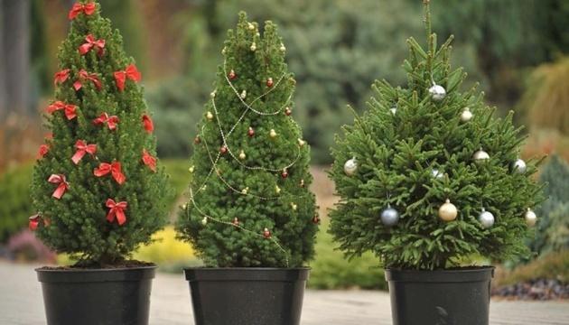 Искусственные или в кадках: экоинспекция объясняет, какие елки покупать лучше