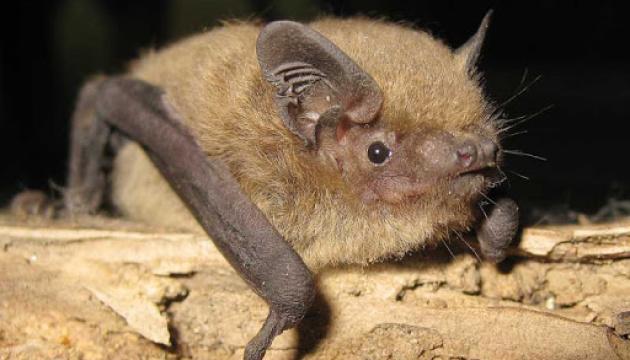 На Поліссі живуть 17 видів кажанів, серед яких рідкісна - «вечірниця велетенська»