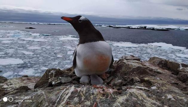 Глобальне потепління вплинуло на популяції пінгвінів в Антарктиді - науковець