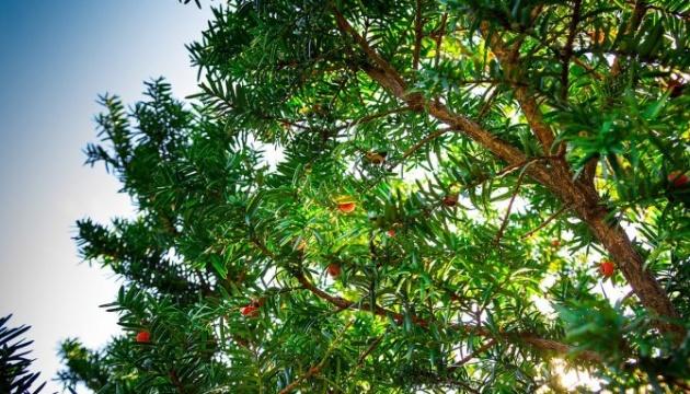 На Прикарпатті з'явилася «Стежка барона» з понад сотнею лікувальних дерев