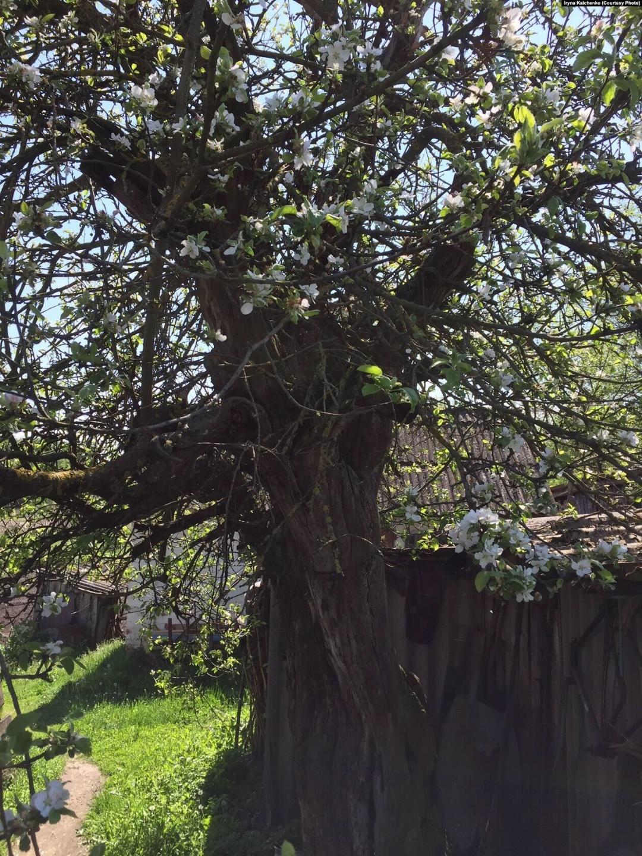 Яблуня, що лишилась на колишньому обійсті Гончаренків. Щовесни дерево цвіте, але плодів майже не має