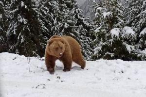 Bären im Nationalpark Synewyr gehen endlich in den Winterschlaf