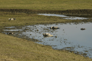 На Херсонщині продовжують гинути червонокнижні сірі журавлі
