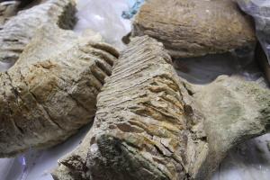 На Буковині виявили зуб мамонта, якому 300 тисяч років