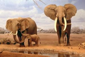 Супутники та штучний інтелект рахують слонів в Африці