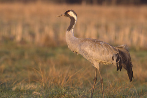 Отравление серых журавлей: в Аскании-Новой могут погибнуть все молодые птицы