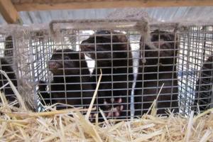 Вже на другій норковій фермі в Іспанії виявили коронавірус