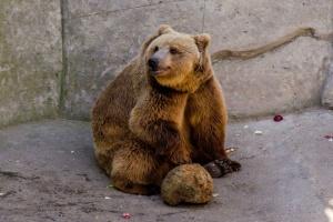 Девушки спят, а парни гуляют: в Менском зоопарке медведи не легли в спячку
