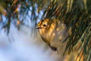 На Хортице заметили самую маленькую птичку Украины - весом пять граммов