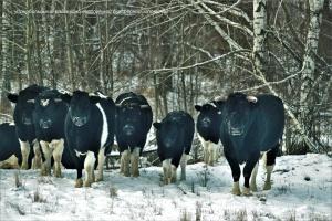 Науковці у Чорнобильському заповіднику вивчають стадо здичавілих корів