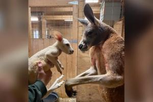 В США народилося вкрай рідкісне біле кенгуреня