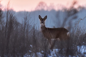 На Хортиці порахували оленів, козуль та кабанів