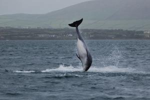 В Ирландии заподозрили россиян в причастности к исчезновению знаменитого дельфина