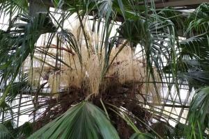 В киевском ботсаду зацвел 200-летняя пальма