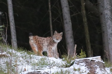 Rare photos of lynx taken in Prykarpattia